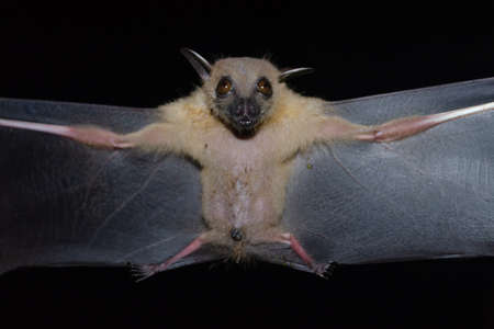 Greater Shortnosed Fruit Bat are sleeping in the cave hanging on the ceiling period midday
