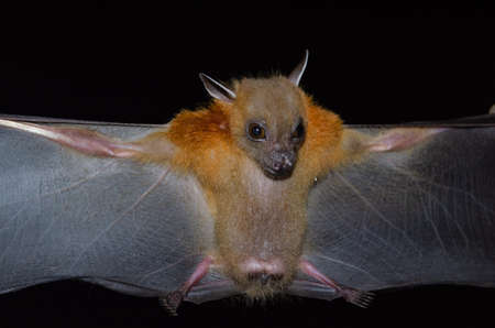 Greater Shortnosed Fruit Bat are sleeping in the cave hanging on the ceiling period midday Standard-Bild - 110727739