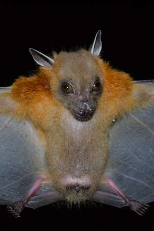 Greater Shortnosed Fruit Bat are sleeping in the cave hanging on the ceiling period midday Standard-Bild - 110727740