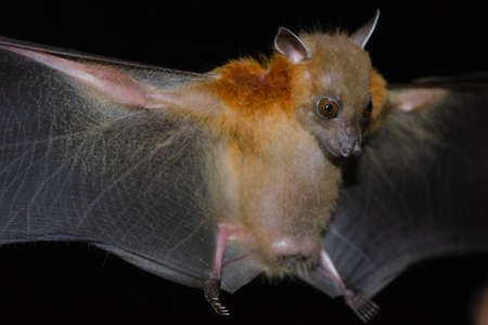 Greater Shortnosed Fruit Bat are sleeping in the cave hanging on the ceiling period midday Standard-Bild - 110727747
