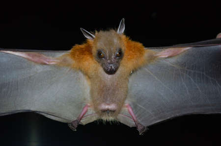 Greater Shortnosed Fruit Bat are sleeping in the cave hanging on the ceiling period midday Standard-Bild - 110727753