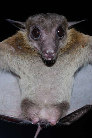 Cave Fruit Bat are sleeping in the cave hanging on the ceiling period midday Standard-Bild - 110727775