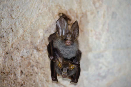 esser false vampire bat  are sleeping in the cave hanging on the ceiling period midday Standard-Bild - 110727835