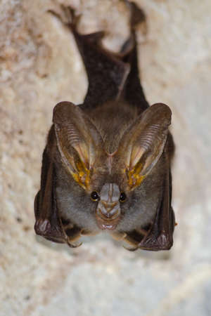 esser false vampire bat  are sleeping in the cave hanging on the ceiling period midday Standard-Bild - 110727947