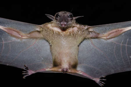 Greater Shortnosed Fruit Bat   are sleeping in the cave hanging on the ceiling period midday Standard-Bild - 110728002