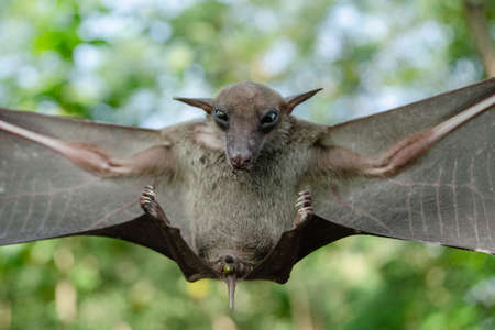 Greater Shortnosed Fruit Bat   are sleeping in the cave hanging on the ceiling period midday Standard-Bild - 110728003