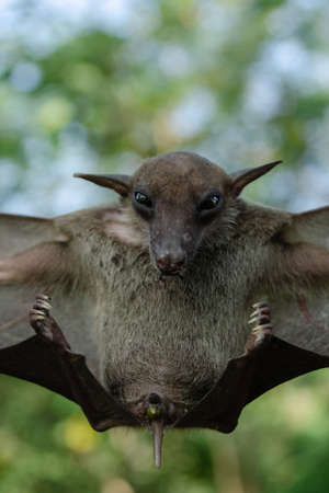 Greater Shortnosed Fruit Bat   are sleeping in the cave hanging on the ceiling period midday Standard-Bild
