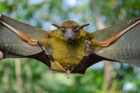 Greater Shortnosed Fruit Bat   are sleeping in the cave hanging on the ceiling period midday Standard-Bild - 110728008