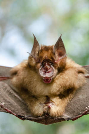 Blyth's Horseshoe Bat  are sleeping in the cave hanging on the ceiling period midday