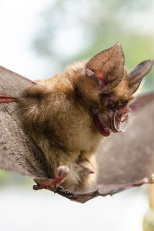 Blyth's Horseshoe Bat  are sleeping in the cave hanging on the ceiling period midday Standard-Bild - 110728095