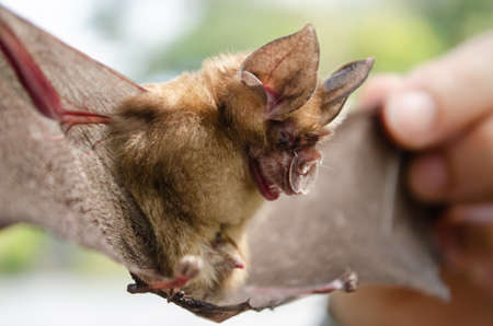 Blyth's Horseshoe Bat  are sleeping in the cave hanging on the ceiling period midday Standard-Bild - 110728096