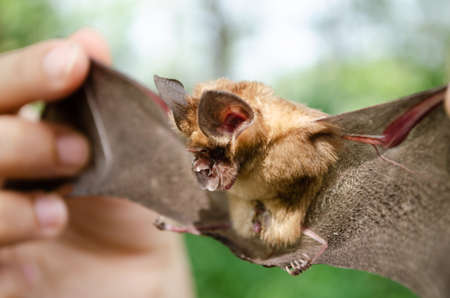 Blyth's Horseshoe Bat  are sleeping in the cave hanging on the ceiling period midday Standard-Bild - 110728097