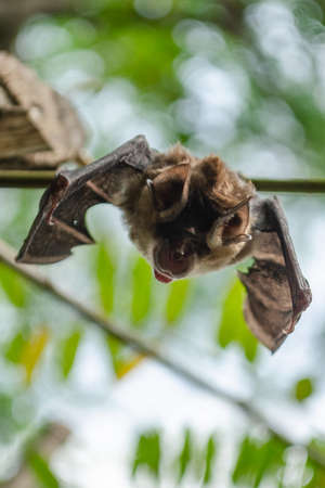 Blyth's Horseshoe Bat  are sleeping in the cave hanging on the ceiling period midday Standard-Bild - 110728099