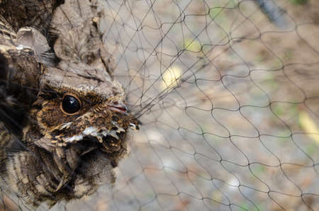 nightjar is found along the southern Himalayan foothill, eastern South Asia, Southeast Asia and nortern Austarlia Stok Fotoğraf - 110728690