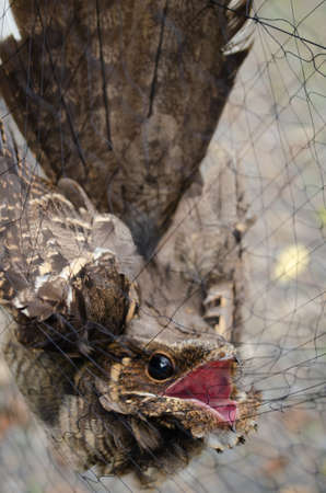 nightjar is found along the southern Himalayan foothill, eastern South Asia, Southeast Asia and nortern Austarlia Standard-Bild - 110728691