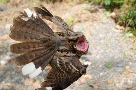 nightjar is found along the southern Himalayan foothill, eastern South Asia, Southeast Asia and nortern Austarlia