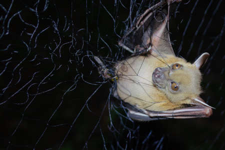 Greater Shortnosed Fruit Bat are sleeping in the cave hanging on the ceiling period midday Standard-Bild - 110728761