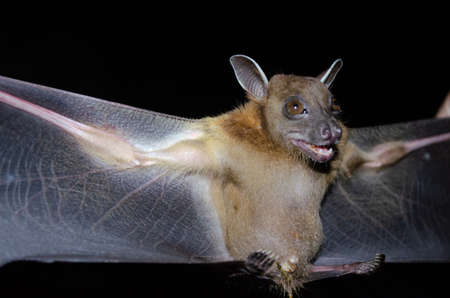 Greater Shortnosed Fruit Bat are sleeping in the cave hanging on the ceiling period midday Standard-Bild - 110728768