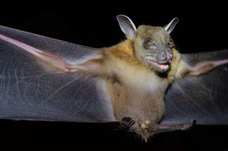 Greater Shortnosed Fruit Bat are sleeping in the cave hanging on the ceiling period midday Standard-Bild - 110728769