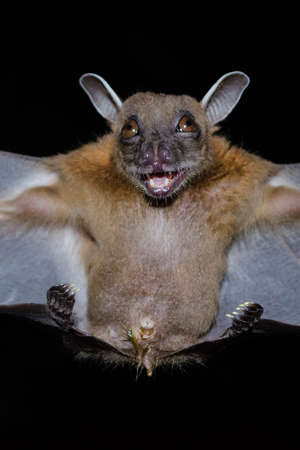 Greater Shortnosed Fruit Bat are sleeping in the cave hanging on the ceiling period midday Standard-Bild - 110728770
