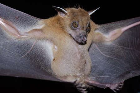 Greater Shortnosed Fruit Bat are sleeping in the cave hanging on the ceiling period midday Standard-Bild - 110728772