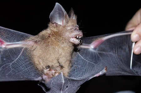 Intermediate Leaf-nosed Bat  are sleeping in the cave hanging on the ceiling period midday Standard-Bild
