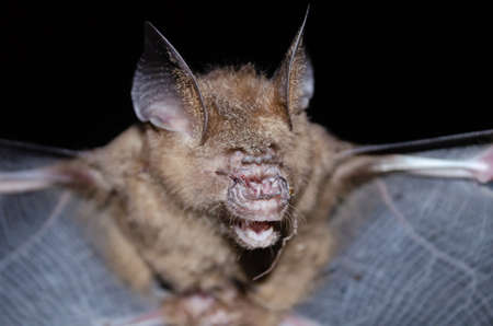 Intermediate Leaf-nosed Bat  are sleeping in the cave hanging on the ceiling period midday 版權商用圖片