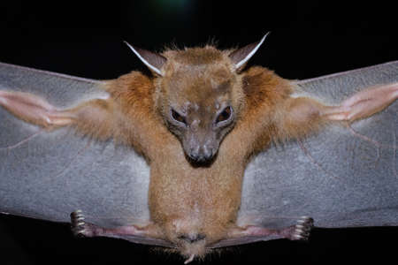 Greater Shortnosed Fruit Bat are sleeping in the cave hanging on the ceiling period midday Standard-Bild - 110728944