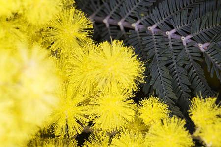 Mimosa fleur