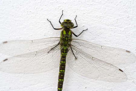 anisoptera: Dragonfly