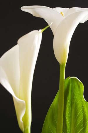 fleur arum: Calla blanc