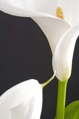 arum flower: White calla