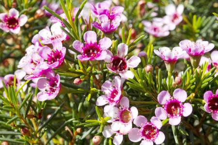 Fleurs - cire Geraldton