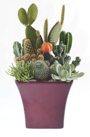 Plantes en pot Cactus Banque d'images