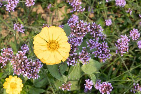 yellow flowers with purple flowers 版權商用圖片
