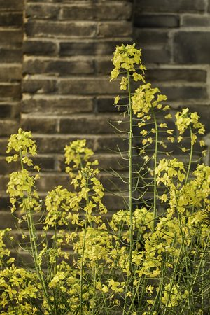 yellow flowers with a brick wall backdrop