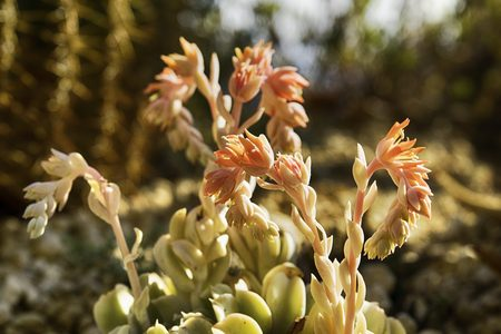 pinkish succulent flowers