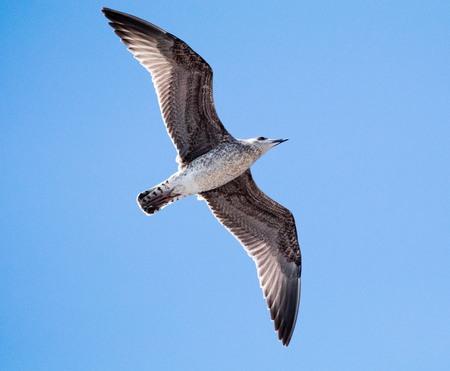 underside of a bird in flight with wings spread Imagens
