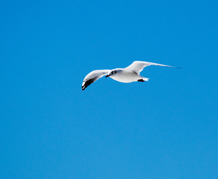 gliding seabird against a blue sky