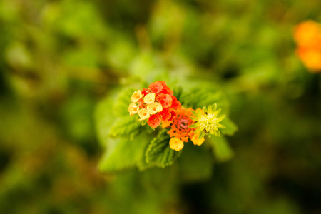 lantana: small multi colored flowers in a cluster Stock Photo
