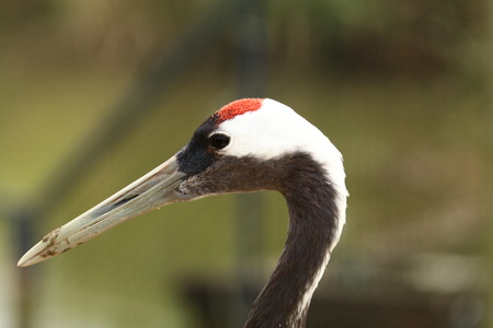 closer view of a red-crowned crane