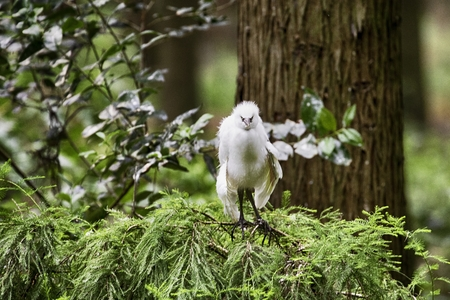 serious looking white bird, juvenile, camera facing Imagens - 85066339