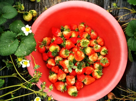 strawberries in a red pail