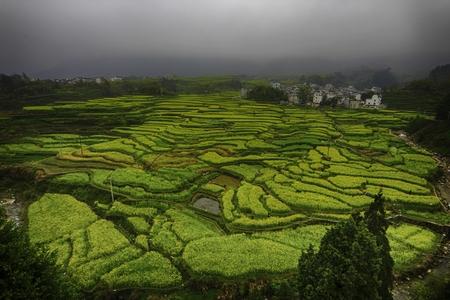rapeseed vegetable terrace plantations under an overcast sky Imagens - 85897618