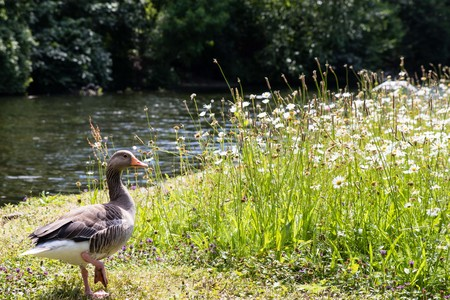 duck at the riverbank Imagens