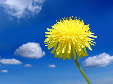 Bright yellow dandelion at the blue sky and light clouds photo