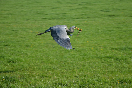 Great Gray flying Heron catching frog on green background photo