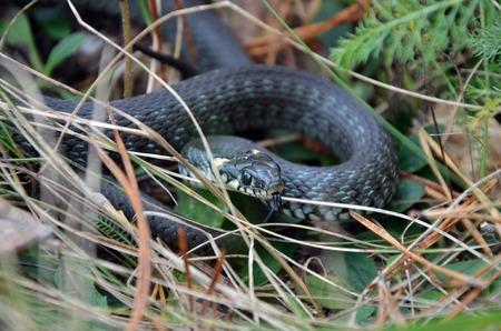 grass snake: Grass serpente in natura selvaggia Archivio Fotografico