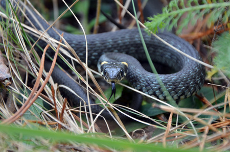 natrix: Grass snake closeup in wild nature . Wide frame