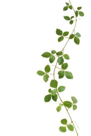 climbing frame: Wild climbing vine, Cayratia trifolia (Linn.) Domin. isolated on white background Stock Photo